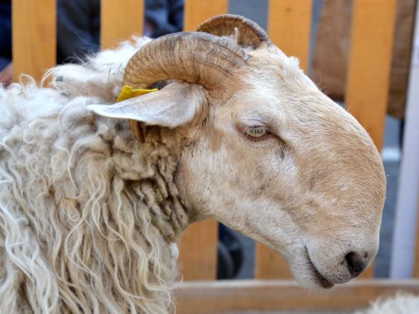Pastoralisme et fête de la brebis brigasques